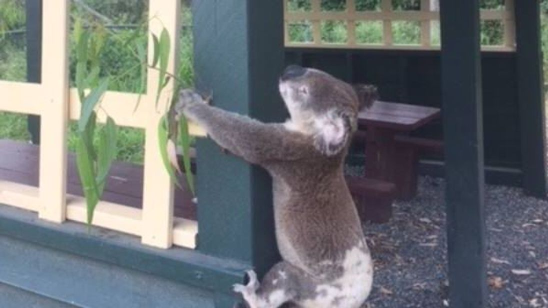 Police in Australia are investigating after a dead koala was found nailed to a wooden post in Queensland. - Facebook: Koala Rescue Queensland Inc