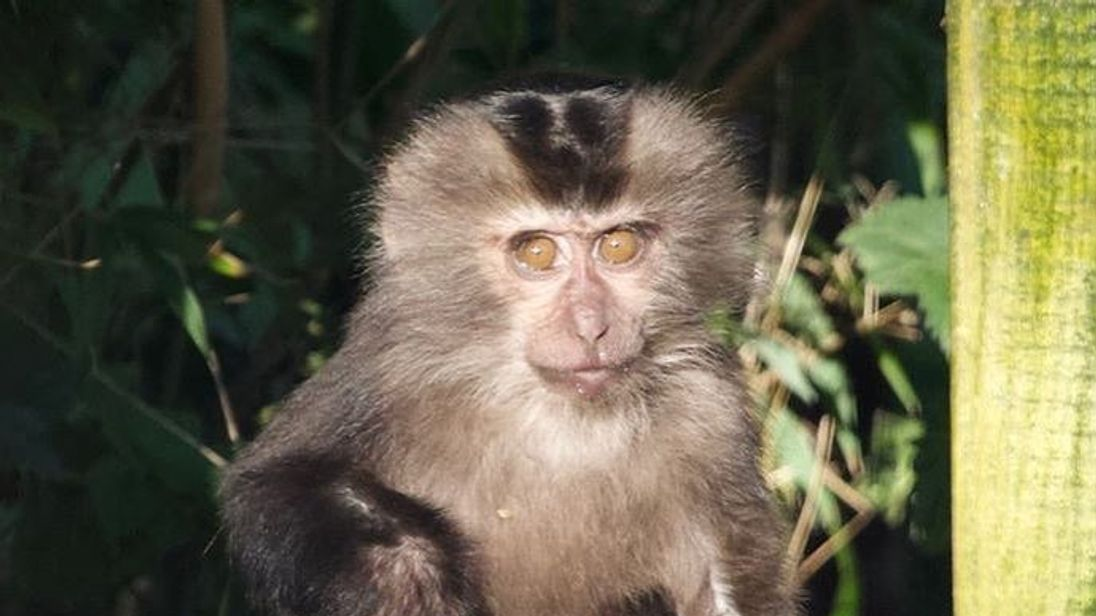 Camperdown Wildlife Centre welcomed lion-tailed macaques in October. Pic: @CamperdownWild