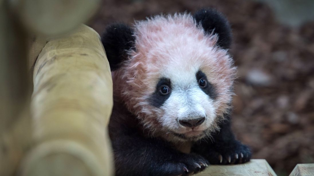 First panda cub born in France makes public debut