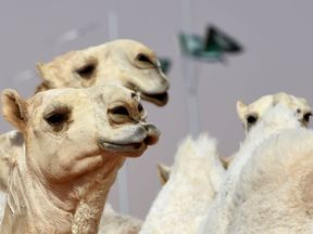 Prize money for the Miss Camel beauty contest runs into millions of pounds