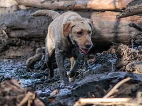 A search and rescue dog sniffing for survivors