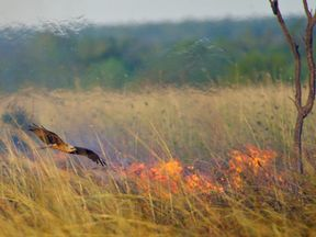 A hawk searching for prey over a bushfire. Pic: Robert Gosford