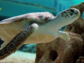 Green sea turtles are classed as an endangered species
