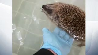 Phelps the hedgehog gets hydrotherapy for his weak hind legs. Pic: SPCA