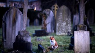 A fox walks through a cemetery at dusk in Bath. According to a recent study the number of urban foxes in England has quadrupled in the past 20 years