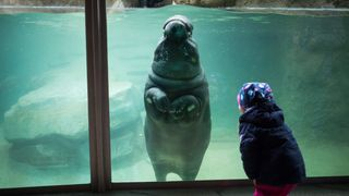 A young visitor interacts with a baby hippopotamus swimming in its enclosure at the Berlin Zoo