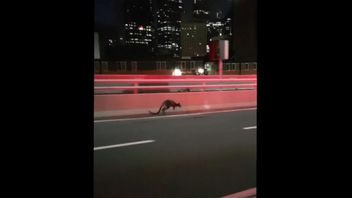 The wallaby was first spotted on Sydney Harbour Bridge