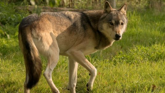 Torak had escaped from his sanctuary. Pic: UK Wolf Conservation Trust