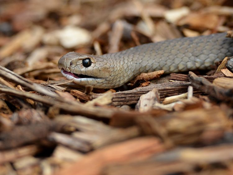 """The Australian Reptile Park website describes the eastern brown snake as """"temperamental and dangerous"""""""