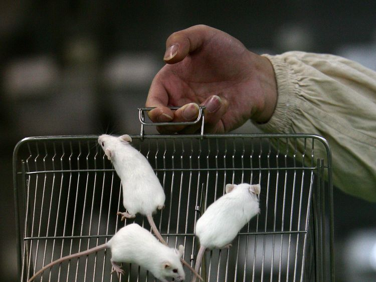 CHONGQING, CHINA - FEBRUARY 16: (CHINA OUT) A worker displays white mice in a cage at an animal laboratory of a medical school on February 16, 2008 in Chongqing Municipality, China. There are over 100,000 rats and mice including white rats, white mice, nude mice and black rats, are used in experiments every year for pharmaceutical research in the lab, where temperature is kept at 24 degrees centigrade and researchers are required to wear protection suits. (Photo by China Photos/Getty Images)