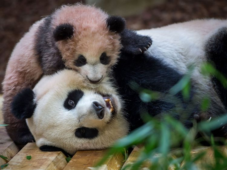12 2018 at The Beauval Zoo in Saint-Aignan-sur-Cher central France shows cub panda Yuan Meng playing with its mother Huan Huan inside its new enclosure. Female panda gave birth to twins