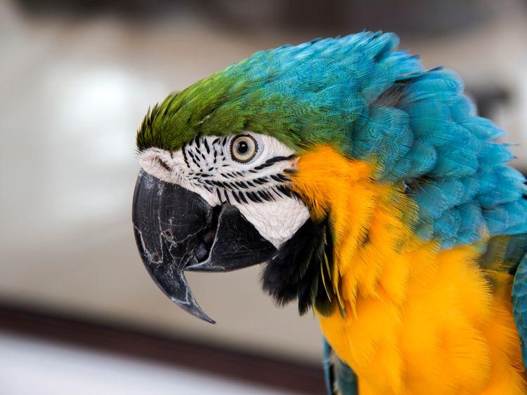 Popinjay /parrot