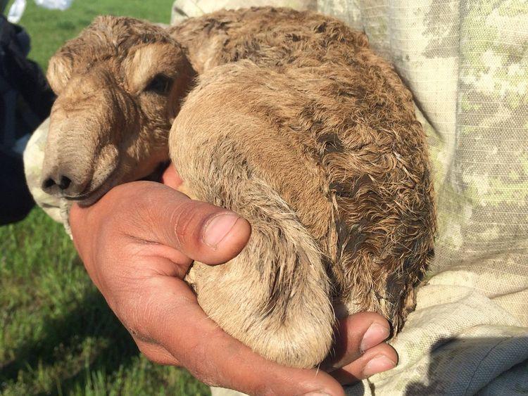 Saiga have the largest calves of all ungulates
