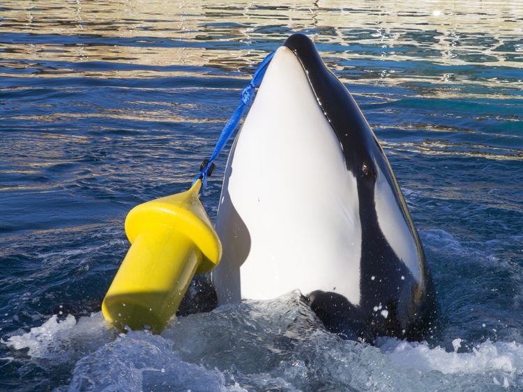 Killer whale Wikie, who has been taught to mimic human words. Pic: Marineland