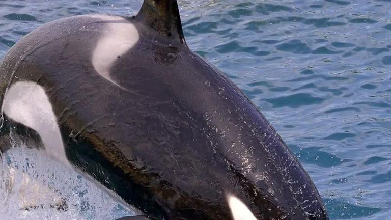 Wikie the killer whale has been taught to 'talk'