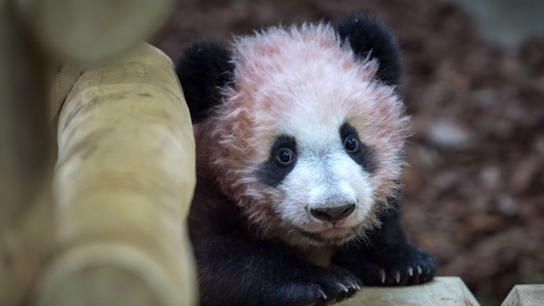 A picture taken on January 12, 2018 at The Beauval Zoo in Saint-Aignan-sur-Cher, central France shows cub panda Yuan Meng playing inside its new enclosure. Female panda gave birth to twins on August 4, 2017, but one died soon afterwards. Nine-year-old Huan Huan and her male partner Yuan Zi arrived at Beauval zoo in January 2012 on a 10-year loan from China after intense, high-level negotiations between Paris and Beijing. Huan Huan (meaning 'happy') and Yuan Zi ('chubby') are the only giant panda