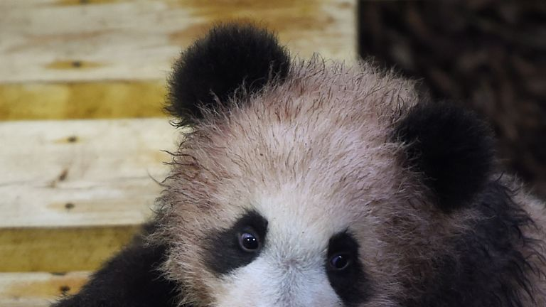 Panda cub Yuan Meng explore its new enclosure during the cub's first public appearance on January 13, 2018 at The Beauval Zoo in Saint-Aignan-sur-Cher, central France. / AFP PHOTO / GUILLAUME SOUVANT (Photo credit should read GUILLAUME SOUVANT/AFP/Getty Images)