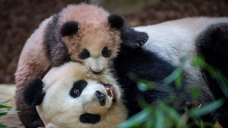 A picture taken on January 12, 2018 at The Beauval Zoo in Saint-Aignan-sur-Cher, central France shows cub panda Yuan Meng playing with its mother Huan Huan inside its new enclosure. Female panda gave birth to twins on August 4, 2017, but one died soon afterwards. Nine-year-old Huan Huan and her male partner Yuan Zi arrived at Beauval zoo in January 2012 on a 10-year loan from China after intense, high-level negotiations between Paris and Beijing. Huan Huan (meaning 'happy') and Yuan Zi ('chubby'