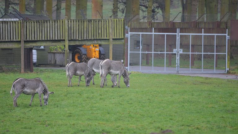 Zebras graze in front of closed gates at an area of Woburn Safari Park in Bedfordshire, where 13 Patas monkeys died in a fire