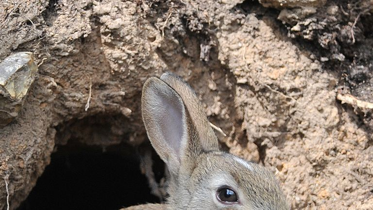 A young wild rabbit emerges from a burrow at South Weald Country Park, Essex.