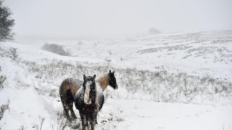 Wild horses amidst the snow in Belfast, Northern Ireland