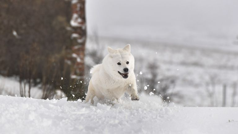 BELFAST, NORTHERN IRELAND - JANUARY 17: Roxy, a Japanese Akita plays in the snow on January 17, 2018 in Belfast, Northern Ireland. The Met Office has placed an amber weather warning alert on the province with over 200 school closures and some roads impassable. More snow is expected again tomorrow. (Photo by Charles McQuillan/Getty Images)