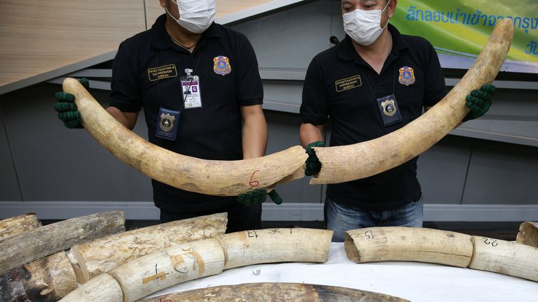 Thai forensic experts work near confiscated elephant tusks after a news conference at the Customs Department in Bangkok