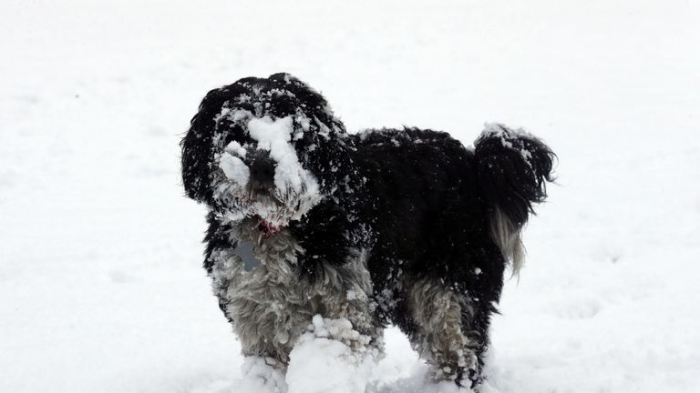 Dolly the Tibetan Terrier at the Braco Castle Lodge park in Perthshire
