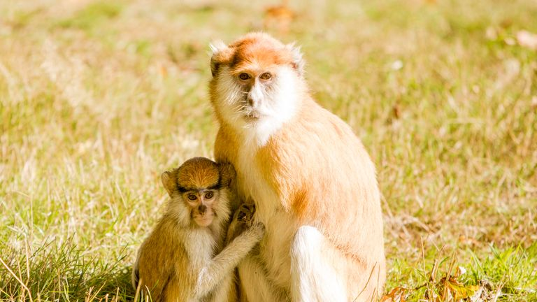 The Patas monkeys couldn't be saved after the fire