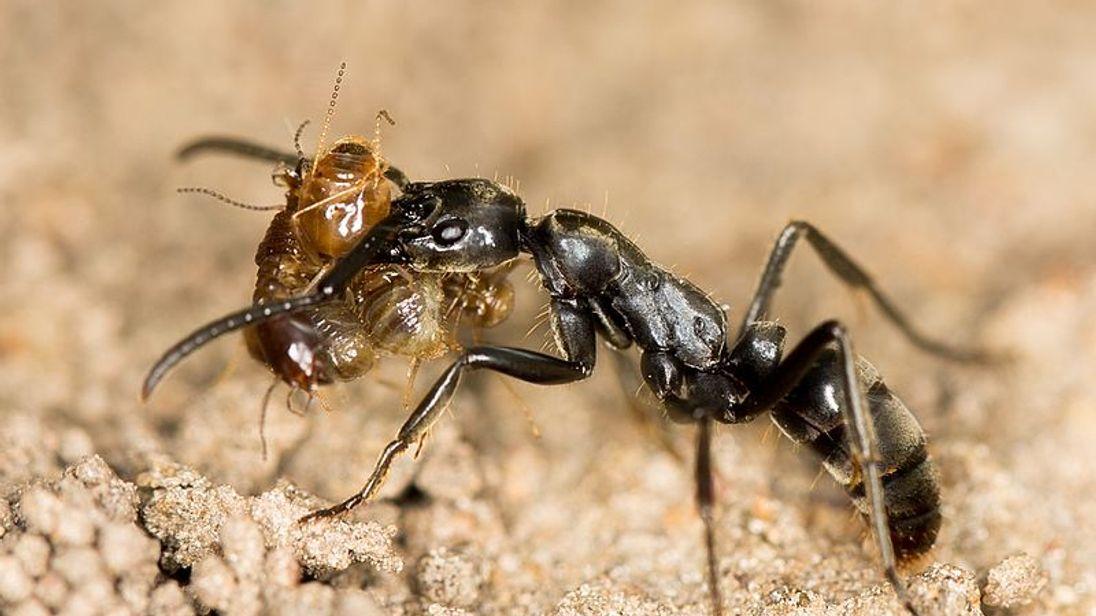 Matabele ant