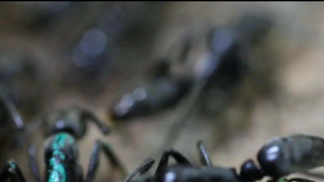 Ant licks its colleague's wounded leg.