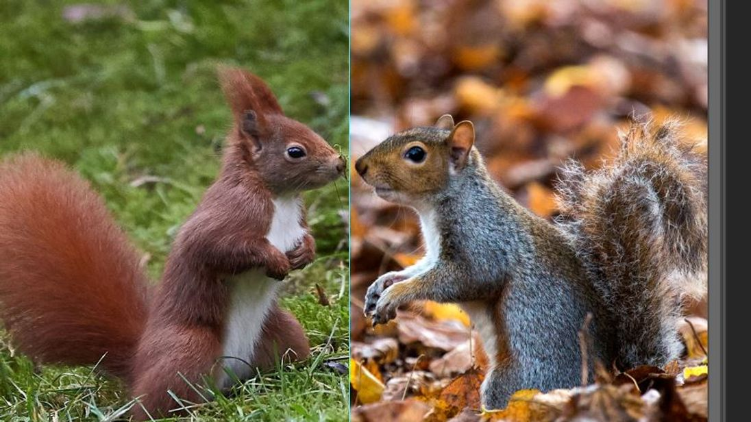 Research suggest red squirrels might not be as clever as grey ones