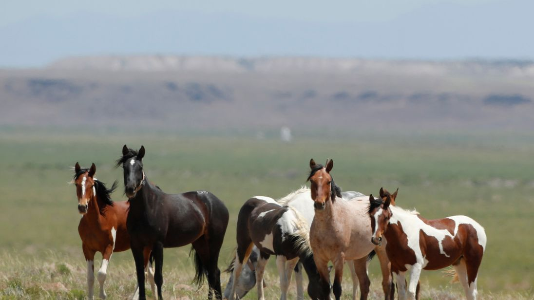 Research suggests these wild horses in Utah may not actually be wild