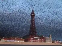 Starlings in Blackpool