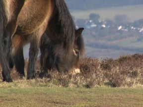 There is some worry that the delays will put others off keeping Exmoor ponies