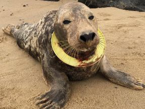 Frisbee the seal was on the brink of starving to death when she was caught