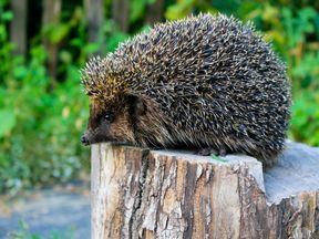 The number of hedgehogs in the UK has halved since 2000