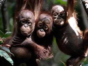 More orangutans have been killed than previously thought