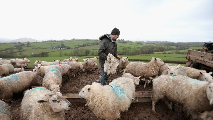 Farmer Paul Brute feeds lambs and ewes on Gwndwnwal Farm during lambing season
