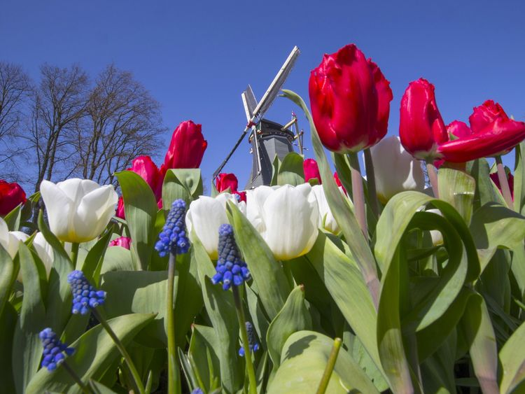 A windmill is seen behind tulips at the Keukenhof park, also known as the Garden of Europe, in Lisse, April 15, 2015