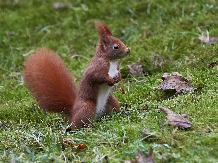 Red squirrels are outnumbered by greys by more than 15 to one