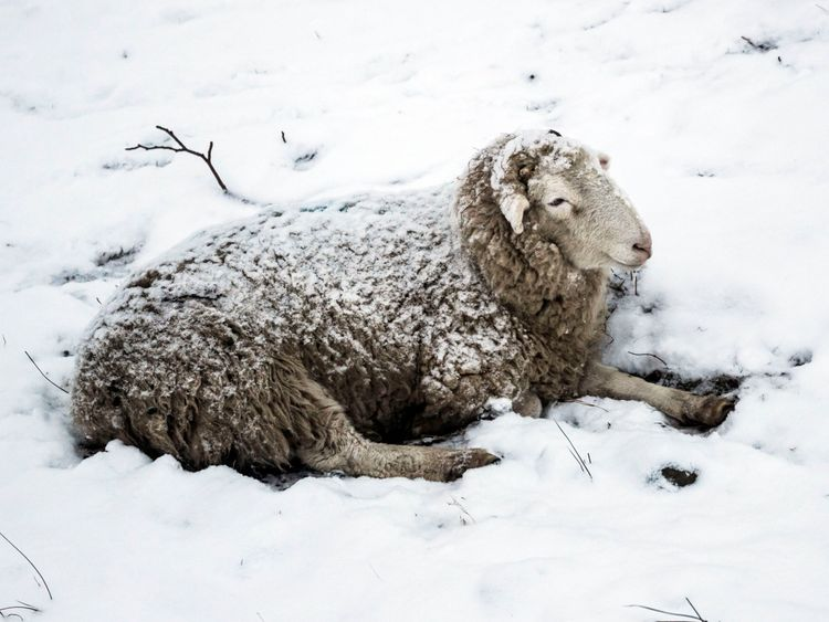 A sheep sits in the snow in Hope Valley in the Peak District