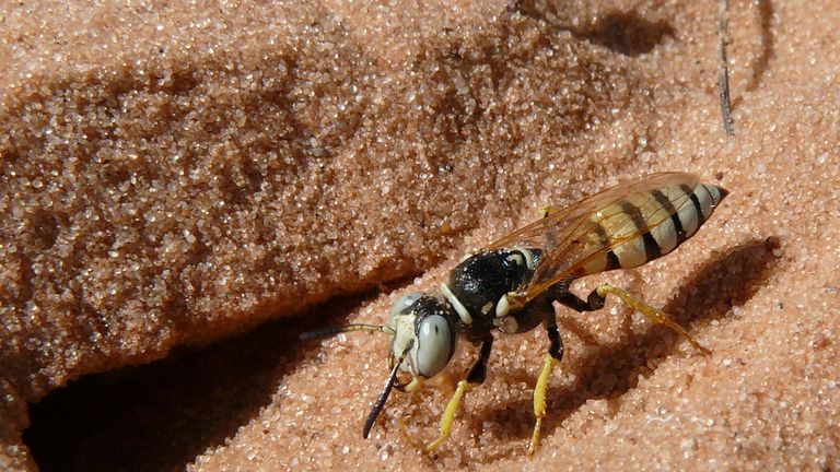 A female of the beewolf species Philanthus basilaris at its nest entrance, Utah, USA. Three genera of these solitary wasps cultivate defensive Streptomyces symbionts that protect the wasps' offspring from pathogenic fungi by producing a mixture of up to 45 different antibiotic compounds. Credit: Martin Kaltenpoth, Johannes Gutenberg University (JGU), Mainz; Germany