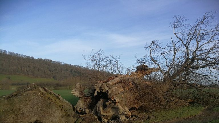 The Buttington Oak was planted as a boundary marker and has stood for centuries. Pic © Rob McBride/@thetreehunter/WNS
