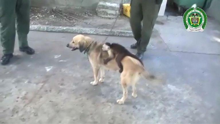 The monkey jumped on the dog's back