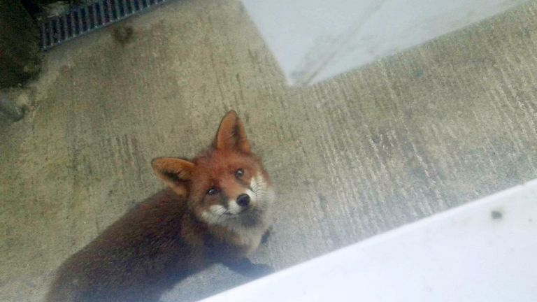 A seven-month-old baby girl was in hospital yesterday (weds) after an urban fox sneaked into a family home and bit the tot as she sat in her bouncer.  See SWNS story SWFOX.  The animal came into the house through an open back door and bit the youngster.  Paramedics rushed to the property in Plymouth, Devon, following the terrifying incident, which happened yesterday afternoon.