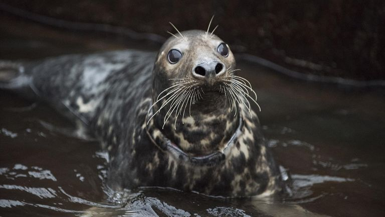 The female grey seal was described as a 'fighter' by RSPCA staff