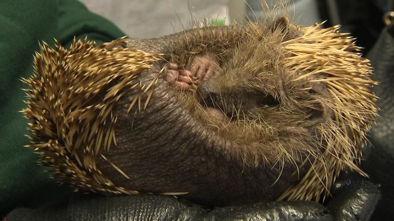 Hedgehogs are increasingly becoming distressed due to their habitats being removed