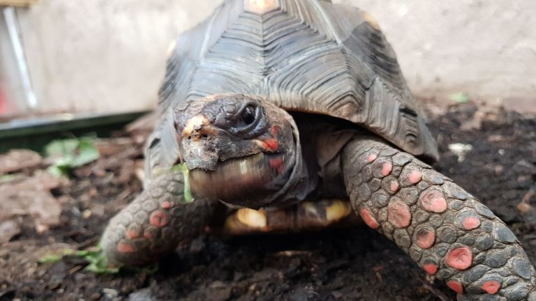 Huck the red-footed tortoise went missing on Wednesday from his enclosure