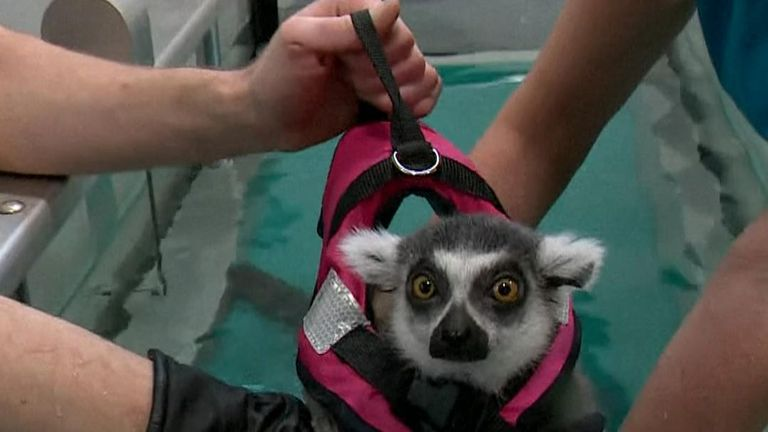 Lemur undergoes hydrotherapy sessions after spine surgery